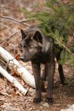 Lobo preto Imagens de Stock Royalty Free
