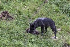 Lobo preto fêmea que prepara seu filhote de cachorro pequeno imagem de stock
