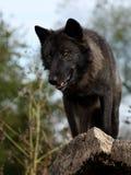 Lobo preto que olha para baixo de cima de Imagem de Stock Royalty Free