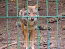 Lobo prisioneiro Foto de Stock