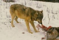 Lobo que alimenta na carcaça dos cervos foto de stock