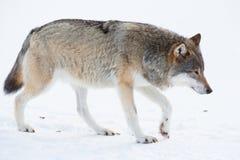 Lobo que anda na neve Fotos de Stock Royalty Free