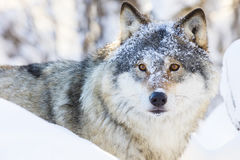 Lobo que camina en bosque hermoso del invierno foto de archivo libre de regalías