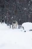 Lobo que camina en el bosque del invierno imagenes de archivo