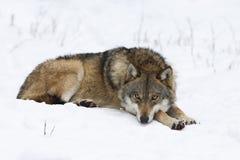 Lobo que descansa en nieve Imagenes de archivo