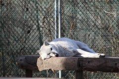 Lobo que dorme no sol foto de stock royalty free