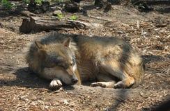 Lobo que duerme en el sol Imágenes de archivo libres de regalías