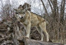 Lobo que está em um coto da árvore Fotografia de Stock Royalty Free