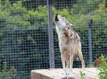 Lobo que grita. Foto de archivo libre de regalías