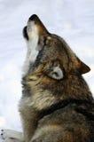 Lobo que grita Imagen de archivo libre de regalías