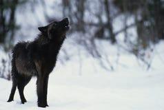 Lobo que grita en nieve Foto de archivo