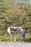 Lobo que olha a rapina com boca aberta Foto de Stock Royalty Free