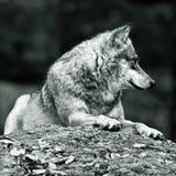 Lobo que pone en roca Fotografía de archivo libre de regalías