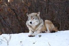 Lobo que se relaja en la nieve Imágenes de archivo libres de regalías