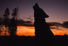 Lobo que urra no por do sol Fotos de Stock Royalty Free