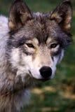 Lobo retroiluminado Fotografía de archivo libre de regalías