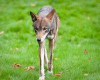Lobo rojo Imagenes de archivo