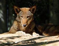 Lobo rojo fotografía de archivo