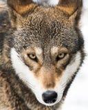 Lobo rojo en la nieve V foto de archivo
