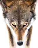 Lobo rojo en la nieve VI Fotografía de archivo