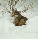 Lobo rojo en nieve Fotos de archivo