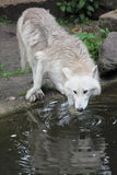 Lobo ártico bebendo Fotografia de Stock Royalty Free