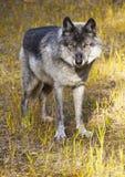 Lobo ruim grande Fotos de Stock