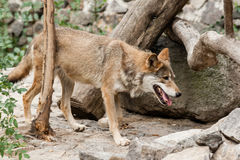 Lobo Running foto de stock royalty free