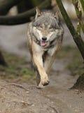 Lobo Running (lúpus de Canis) Imagens de Stock Royalty Free