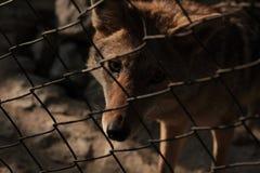 Lobo só Fotos de Stock