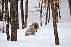 Lobo só Imagem de Stock Royalty Free