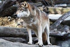 Lobo salvaje. Fotografía de archivo