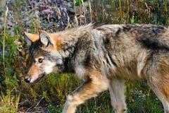 Lobo salvaje Imagenes de archivo