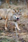 Lobo salvaje en bosque Imágenes de archivo libres de regalías