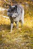 Lobo selvagem Fotos de Stock