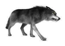 Lobo selvagem no branco Imagens de Stock Royalty Free