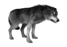 Lobo selvagem no branco Fotos de Stock Royalty Free