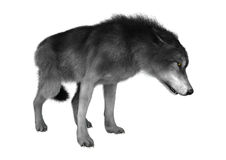 Lobo selvagem no branco Imagem de Stock
