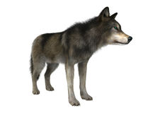 Lobo selvagem no branco Fotografia de Stock