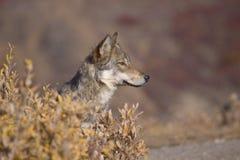 Lobo Sideview del otoño Imagen de archivo libre de regalías