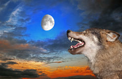 Lobo sob a lua Fotografia de Stock
