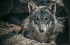 Lobo solitário foto de stock