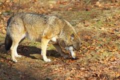 Lobo sozinho Imagem de Stock Royalty Free