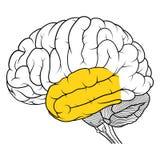 Lobo temporale della vista laterale di anatomia del cervello umano piana Illustrazione di Stock