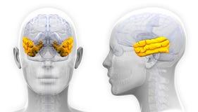 Lobo temporale femminile Brain Anatomy - isolato su bianco illustrazione di stock