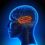 Lobo temporale femminile - cervello di anatomia illustrazione di stock