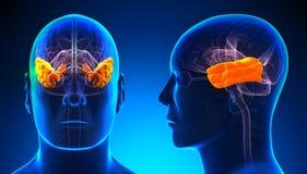 Lobo temporale maschio Brain Anatomy - concetto blu illustrazione vettoriale