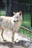 Lobo tibetano en un refugio para los animales salvajes enfermos Foto de archivo