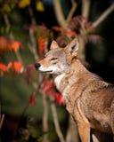 Lobo vermelho Foto de Stock
