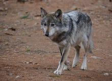 Lobo vermelho Fotos de Stock Royalty Free